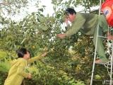 Nghệ An: Mất trắng mùa hồng, nông dân thất thu tiền tỷ