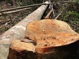 """Đắk Nông: """"Thâm nhập"""" đại công trường khai thác gỗ quy mô lớn (kỳ 1)"""
