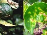 Phòng trị bệnh ghẻ nhám hiệu quả trên cây có múi