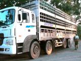 Bắt và tiêu hủy hơn 10 tấn lợn thịt nhập lậu từ Campuchia