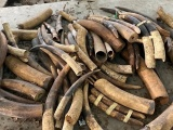 Hải Phòng: Bắt giữ 2 tấn ngà voi, vảy tê tê giấu trong container gỗ