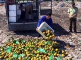 Quảng Ninh: Tiêu hủy hơn 8 tạ cam quýt không rõ nguồn gốc