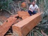 """Gia Lai: Thâm nhập """"đại công trường"""" khai thác gỗ quy mô lớn trong rừng cộng đồng (Kỳ 1)"""