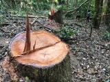 """Gia Lai: """"Đại công trường"""" gỗ lậu khủng khiếp bên trong đại ngàn (kỳ 2)"""