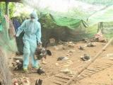 Cần thực hiện song song chống dịch bệnh và ngăn cúm gia cầm