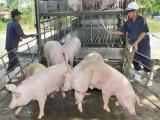 Bộ NN & PTNT vào cuộc, giá thịt lợn đồng loạt giảm