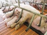 Hải Phòng: Đề xuất cho vay vốn ưu đãi hỗ trợ tái đàn lợn