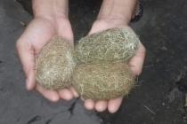 An Giang: Phát hiện 3 vật thể lạ được cho là cát lợn quý hiếm