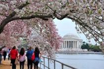 Những địa điểm nên 'bỏ túi' khi đến Mỹ ngắm hoa anh đào