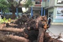 TP HCM: Cây phượng lớn bất ngờ bật gốc, 13 học sinh thương vong