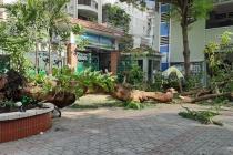 Bộ GD&ĐT yêu cầu các nhà trường xử lý các cây nguy hiểm, có thể gãy đổ