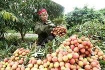 Bắc Giang: Vải thiều sớm được tiêu thụ 1.000 tấn mỗi ngày