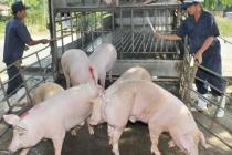 Giá lợn hơi trong nước vẫn tăng dù đã có lợn nhập từ Thái Lan