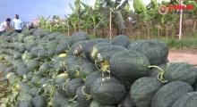 """Hàng chục tấn nông sản """"tắc đường"""" sang Trung Quốc khiến nông dân điêu đứng"""