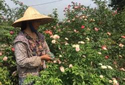 Đi ngược xu hướng, U60 trồng hoa hồng cổ thu nhập 300 triệu/năm