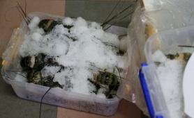 Đà Nẵng: Phát hiện tôm hùm ở cửa hàng hải sản có bơm tạp chất