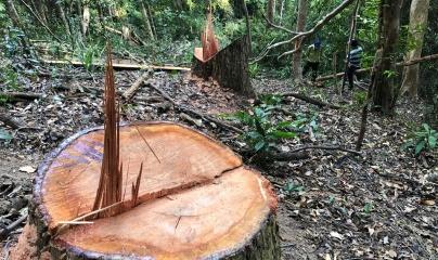 Gia Lai: Ai đã bán rừng cho lâm tặc? (Kỳ 4)