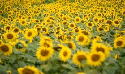 Bí mật diệu kỳ ở cánh đồng hoa mặt trời