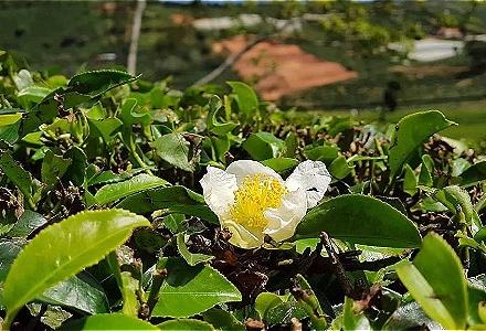 Nông dân Lâm Đồng chặt bỏ cây chè do thu nhập giảm sút