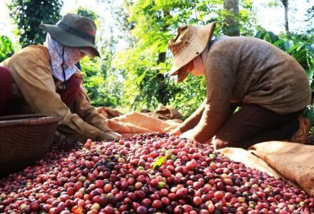 Xuất khẩu cà phê sang nhiều thị trường tăng đột biến