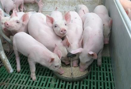 Triển khai tái đàn, tăng đàn lợn để bảo đảm nguồn cung