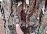 Khởi tố vụ hàng trăm cây thông tại Lâm Đồng bị đầu độc