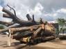 Bình Định: Tạm giữ xe đầu kéo chở cây đa sộp 'siêu khủng'