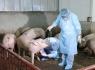 FAO đánh giá khẩn cấp về dịch tả lợn châu Phi ở Việt Nam