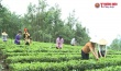 """Liên Hiệp HTX Nông nghiệp Hữu cơ và Dược liệu Việt Nam: Giá trị nâng cao khi ứng dụng """"Giải pháp hữu cơ vi sinh Ogravina"""" xây dựng """"Chuỗi liên kết sản xuất chè hữu cơ sinh học"""""""