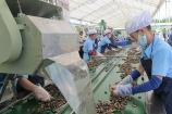 Giá hạt điều thấp, nhu cầu tiêu thụ giảm khiến các DN sản xuất lao đao