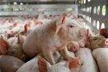 Giá lợn hơi hôm nay (13/8) biến động trái chiều giữa 3 miền