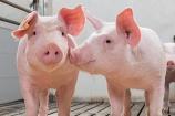 Giá lợn hơi hôm nay 19/9 duy trì trạng thái tăng