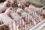 Giá lợn hơi hôm nay 27/10: Có nơi tăng mạnh 7.000 đồng/kg