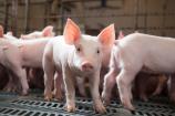 Giá lợn hơi ngày 27/1 biến động trên cả 3 miền