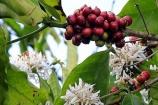 Cà phê và hồ tiêu hôm nay (27/1) đồng loạt tăng giá