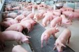 Từ ngày 17/5, giảm 50% mức thu phí trong chăn nuôi