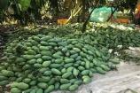 Giá xoài, mít Thái 'chạm đáy', nông dân khó càng thêm khó