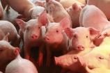 Giá lợn hơi phiên cuối tuần 13/6 được giữ ổn định