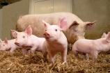 Giá lợn hơi ngày 20/9 đồng loạt đi ngang trên cả 3 miền