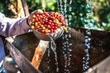 Giá cà phê và hồ tiêu ngày 21/9 tiếp tục đi ngang