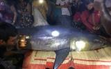 Cá mập xanh nặng 200 kg dạt vào bờ sông ở Quảng Trị