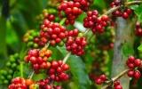 Giá cà phê hôm nay 29/10 giảm nhẹ, giá tiêu chững lại