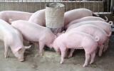 Giá lợn hơi ngày 1/11 thu mua từ 68.000 - 79.000 đồng/kg