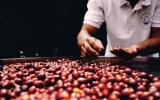Giá cà phê và hồ tiêu đảo chiều trong ngày 23/1