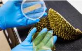 Singapore phát triển vỏ sầu riêng thành băng kháng khuẩn