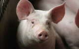 Giá lợn hơi ngày 26/9 cao nhất đạt 53.000 đồng/kg