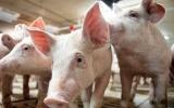 Giá lợn hơi ngày 17/10 cao nhất đạt 40.000 đồng/kg