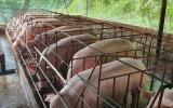 Diễn biến giá lợn hơi ngày 19/10/2021