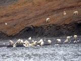 Hàng trăm gấu Bắc cực xúm vào xé xác cá voi mắc cạn