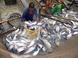 Mỹ tăng mạnh thuế chống bán phá giá với cá tra Việt Nam